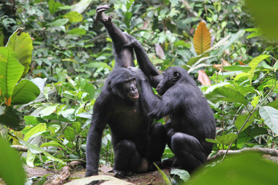 why do primates have unusually large brains Male spider monkeys have nothing to do with the the spider monkey brain is twice the size of they usually require a large amount of attention monkeys cannot.